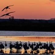 Horicon Marsh Cranes #5 Poster