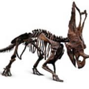 Horned Dinosaur Skeleton Poster