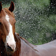 Horse Bath I Poster