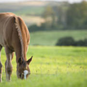 Horse In Field Near Ballyvaloo, Blackwater, Wexford Poster