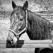 Horse Portrait In Black And White Poster