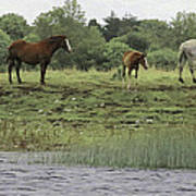 Horses On Ireland's River Shannon Poster