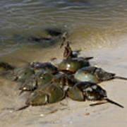 Horseshoe Crabs Poster