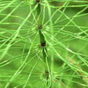 Horsetail Reed 2 Poster
