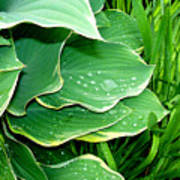 Hosta Leaves And Waterdrops Poster
