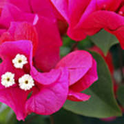 Hot Pink Bougainvillea Poster