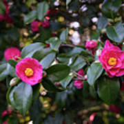 Hot Pink Camellias Glowing In The Shade Poster