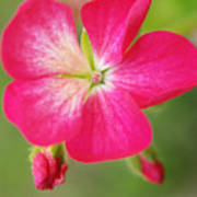 Hot Pink Geranium On A Brilliant Summer Day Poster