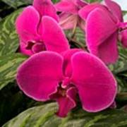 Hot Pink Orchids Poster