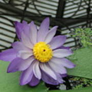 Hothouse Waterlily Poster