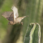 House Finch 0573 Poster