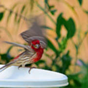 House Finch - 2 Poster
