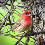 House Finch - 3 Poster