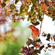 House Finch Hanging Around Poster