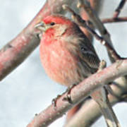 House Finch In An Apple Tree Poster