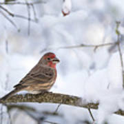House Finch In Snow Poster