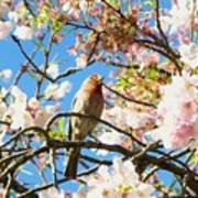 House Finch In The Cherry Blossoms Poster