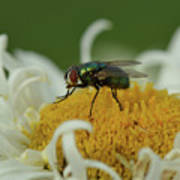 Housefly On Daisy Poster