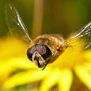Hoverfly In Flight Poster