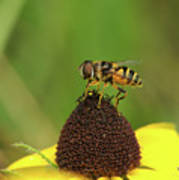 Hoverfly On Brown Eyed Susan Poster