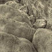 Huddled Yearling Rams Poster
