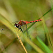 Hudsonian Whiteface Dragonfly Poster