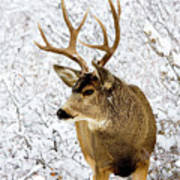 Huge Buck Deer In The Snowy Woods Poster