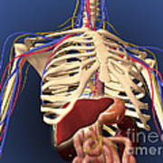 Human Skeleton Showing Digestive System Poster