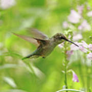 Hummer And Obedient Plant Poster