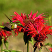 Hummer In The Bee Balm Poster