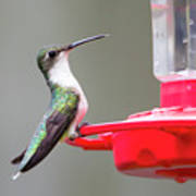 Hummingbird 33 Poster