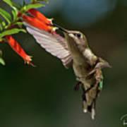 Hummingbird #5 Poster