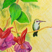 Hummingbird Amongst The Fuchsia Poster