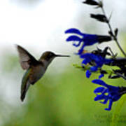 Hummingbird And Blue Flowers Poster