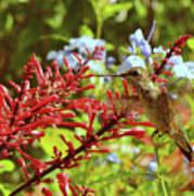 Hummingbird And Firespike Poster