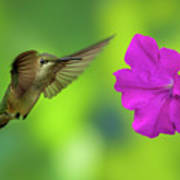 Hummingbird And Flower Poster