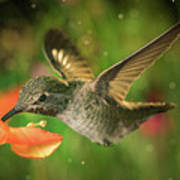 Hummingbird And The Monkey Flowers Poster