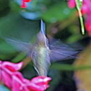 Hummingbird Angel Poster