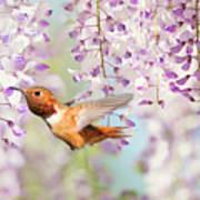 Hummingbird At Wisteria Poster