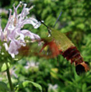 Hummingbird Clear-wing Moth At Monarda Poster