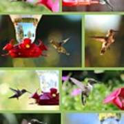 Hummingbird Collage 2 Poster