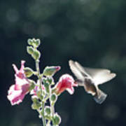 Hummingbird Drinking Pink Hollyhock Photography Poster