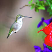 Hummingbird Found In Wild Nature On Sunny Day Poster