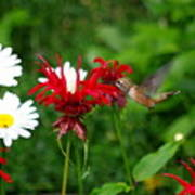 Hummingbird In Flowers Poster