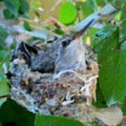 Hummingbird In Nest 1 Poster