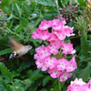 Hummingbird Moth On Pink Verbena Poster