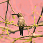 Hummingbird On A Branch Poster