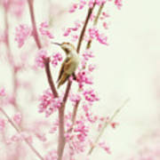 Hummingbird Perched Among Pink Blossoms Poster