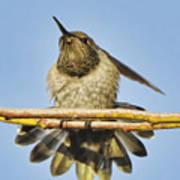 Hummingbird Spreading Wings Poster