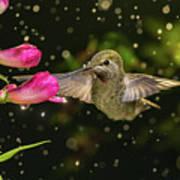 Hummingbird Visits Flowers In Raining Day Poster